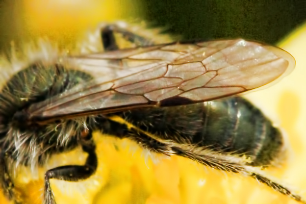The wings veins of a two-celled Andrena