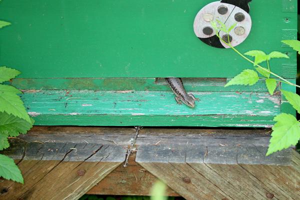 Lizard in a bait hive