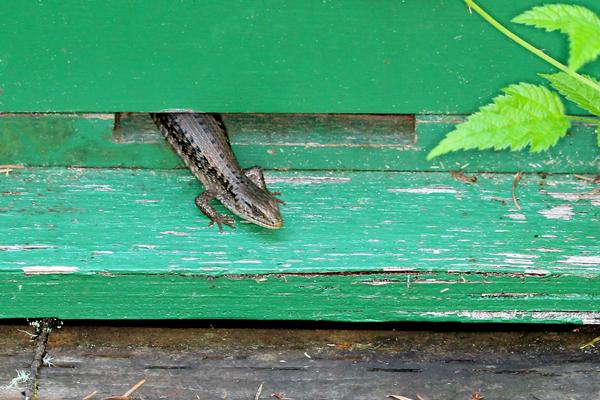 Lizard in a bait hive. Close up.