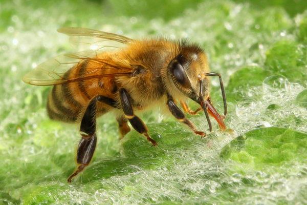 Lamb's ear provides a water source for bees