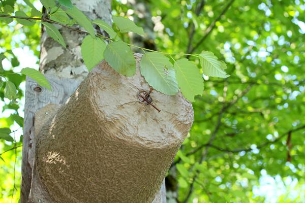 Swarm trap in a tree.