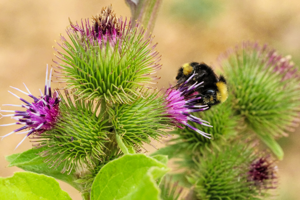 A bumble bee on common burdock.