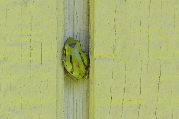 Frog squeezed between siding boards.