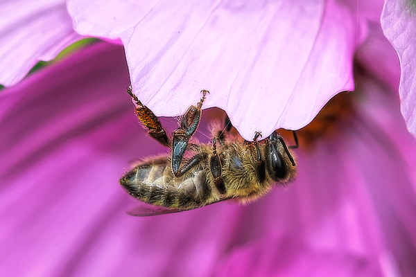 How often does a honey bee sleep in the flowers like this?