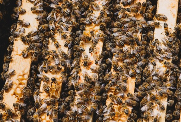 Many honey bees on the top bars of a Langstroth hive.