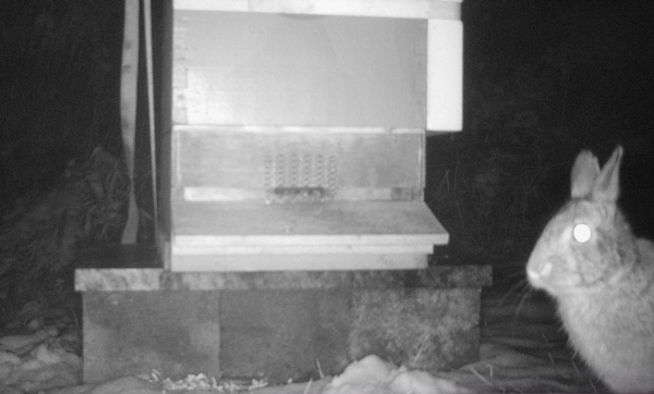 Infrared photo of a rabbit in front of a bee hive at night.