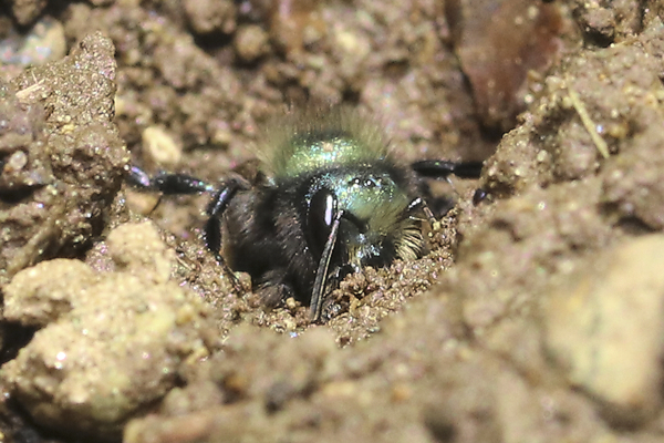 This Osmia mason bee is facing up on the vertical wall of the footprint. I love looking at all the different colors of mud the bees find. © Rusty Burlew.