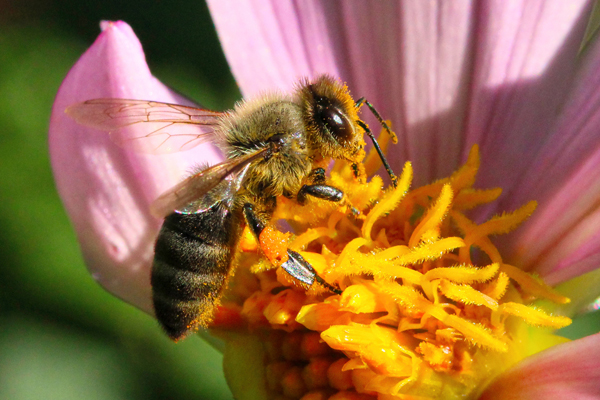 Honey bee with messy antennae: Certain types of pollen stick to a bee's antennae, forcing her to stop and clean.