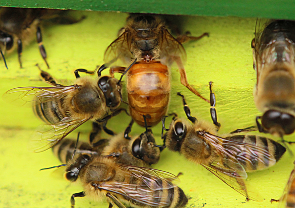 Queen antennation: This queen, just returning from her mating flight, is antennated by three workers. © Rusty Burlew.