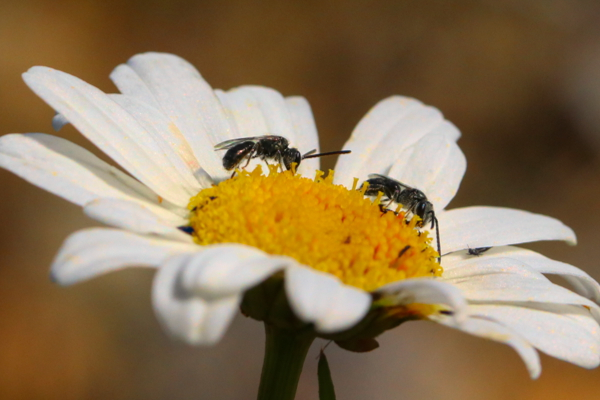 Shot of two male Panurginus foraging on a daisy.