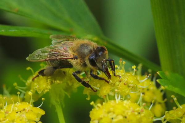Honey bee on lovage. The flowers are not showy, but the bee sure like them.