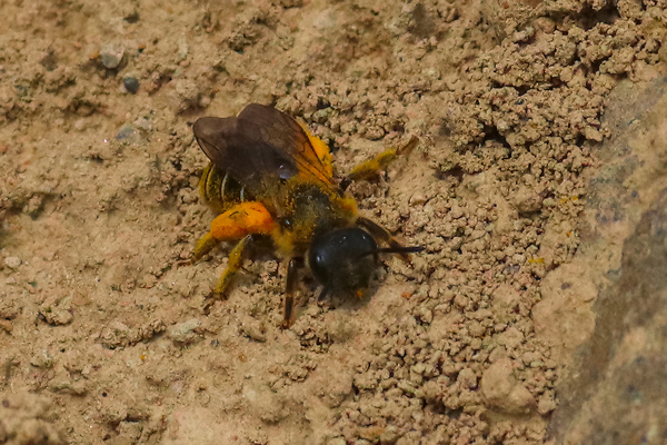 She looks like she belongs to the genus <em>Halictus</em>, a small sweat bee.