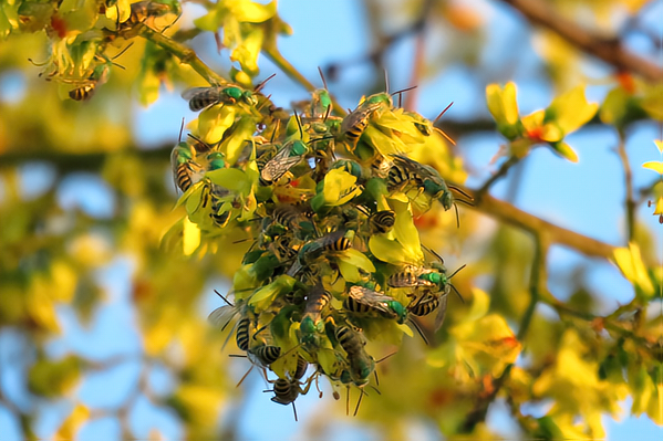 A mating lek of <i>Agapostemon melliventris</i> bees, known as honey-tailed striped sweat bees, gathers in a goldenrain tree. © Stonebird.