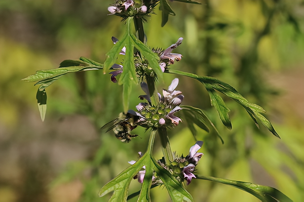 Motherwort has the typical square stem of a mint-family plant and the characteristic mint-shaped flowers.