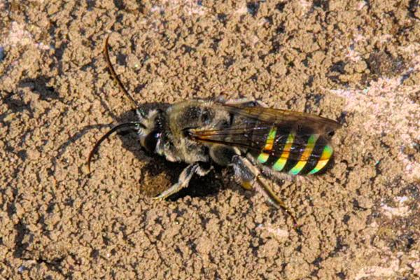 Buzz. An alkali bee, Nomia melanderi, approaches her nesting hole in eastern Washington. © Rusty Burlew.