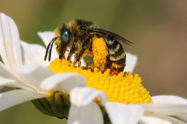Melissodes female. These bees have large pollen scopae on their rear legs and they often have bright blue eyes.