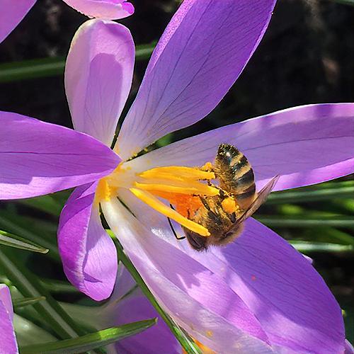 Alistair Dunbar found this UK honey bee in the crocus. © Alistair Dunbar.