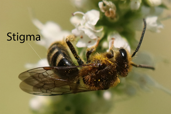 Stigma: The size of the stigma varies with the bee species. The stigma and the thickened portion of the wing edge leading up to it add strength to the wing. This bee has a large, clearly visible stigma.