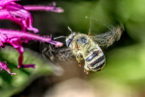 Wings in motion: Bee wings move incredibly fast in a figure eight pattern. The speed is made possible by the indirect flight muscles.