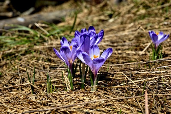 The crocuses have bloomed.