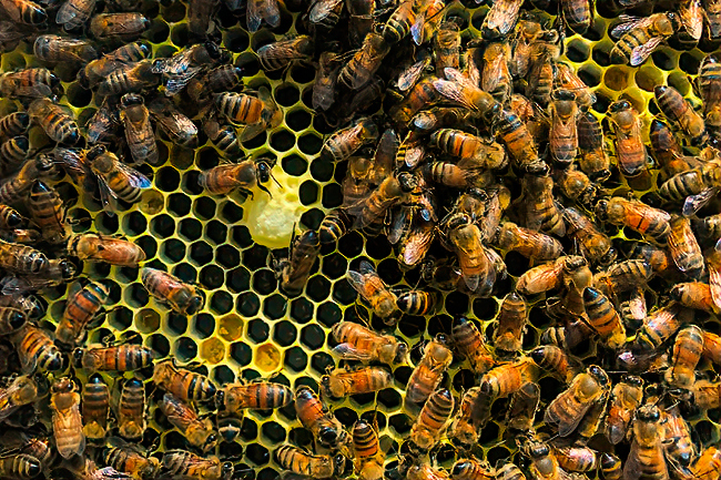 What looks like a queen cup was built among the laying-worker eggs. © Molly McMillion.