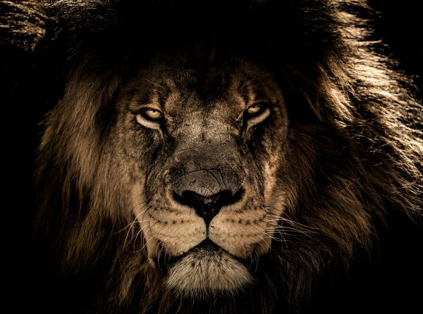 african-lion-2888519_1920