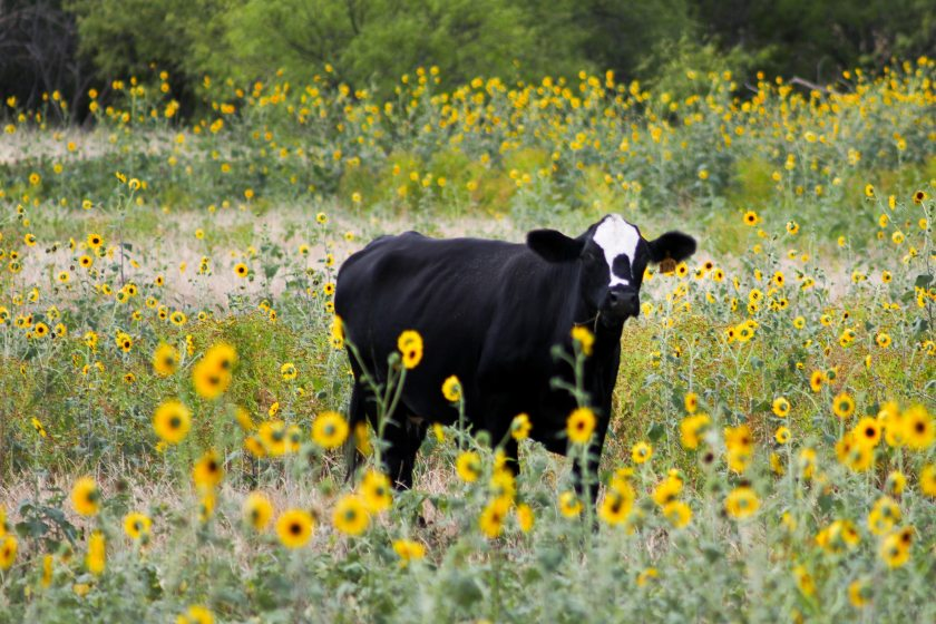 agriculture-animal-cattle-1175048