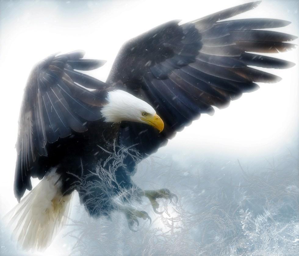 bald-eagle-2190424_1920