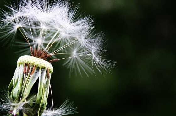 allergies dandelion