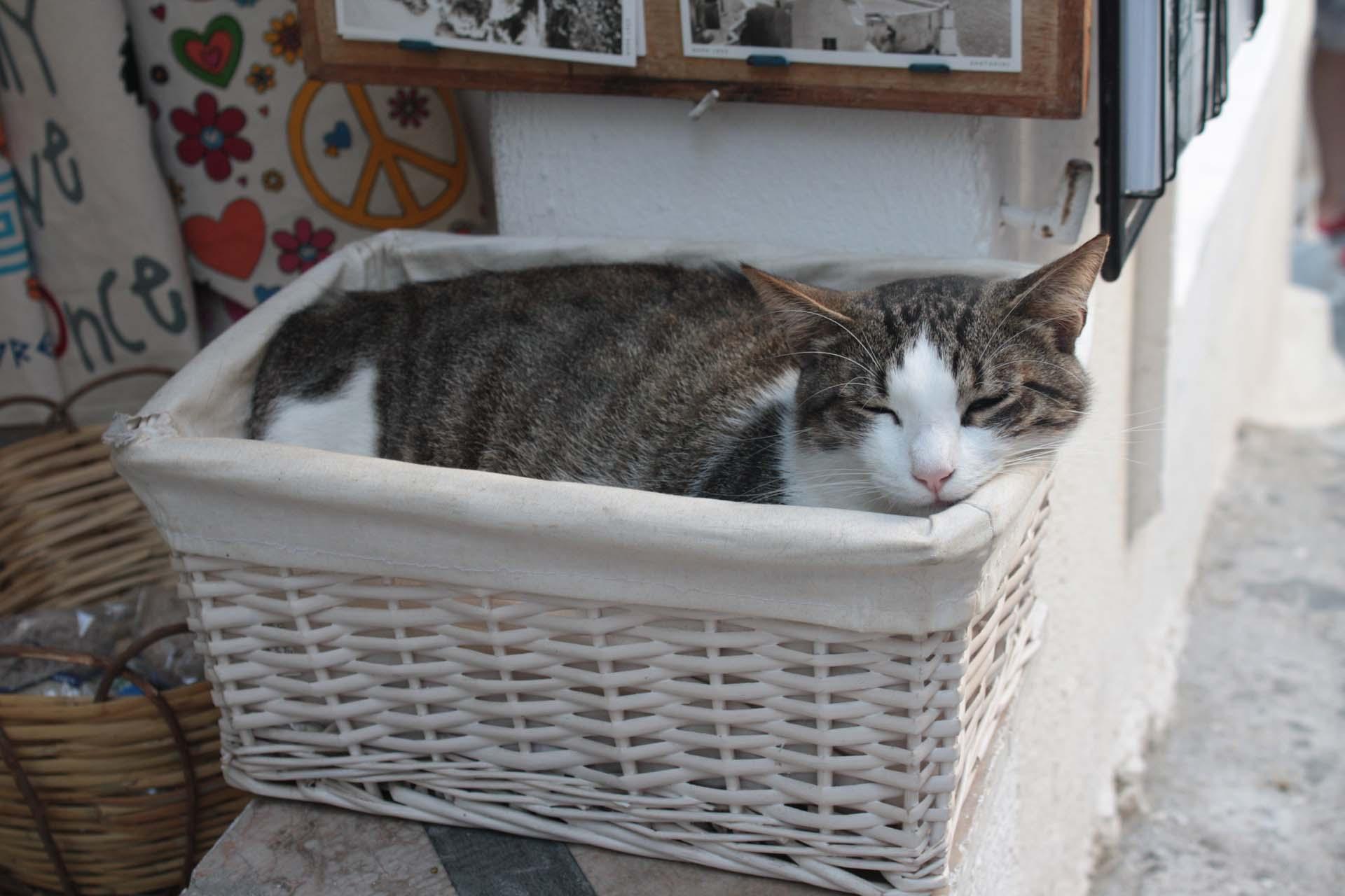 Chat dans un panier à Santorin