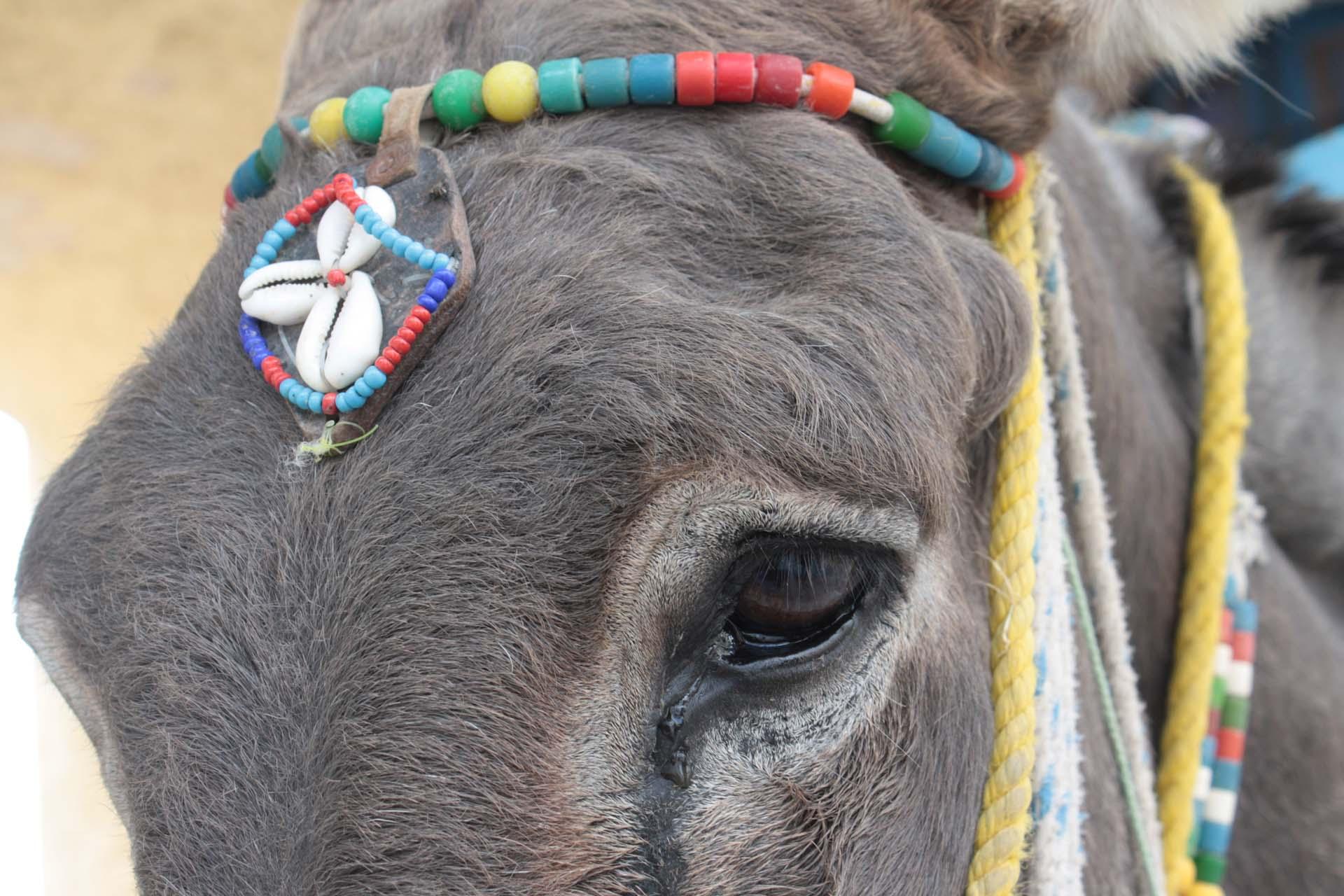 Yeux d'un âne sur l'île de Santorin