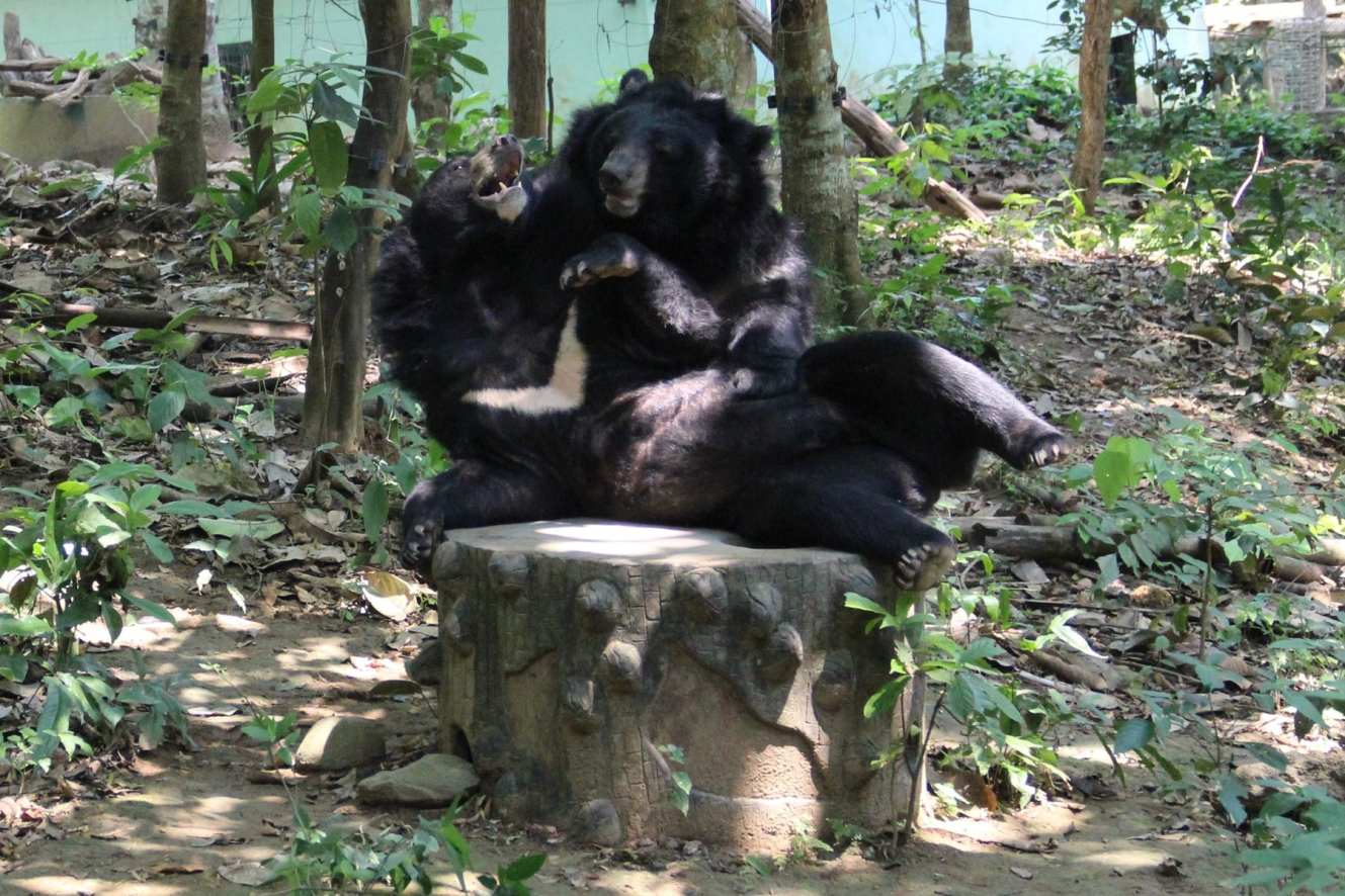 Bears playing in rescue centre in Kuang Si