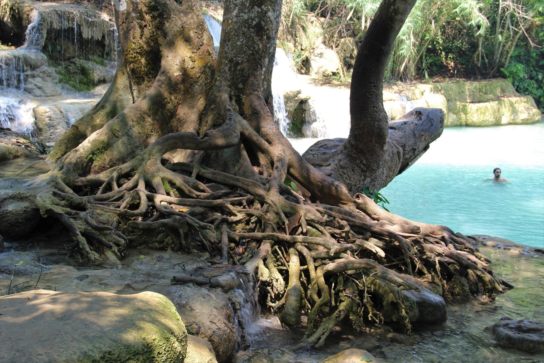 Trees with impressive roots next to natural pools in Kuang Si