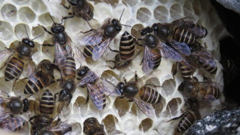 Social bees