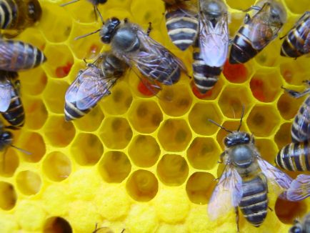Worker bees adding honey to cells