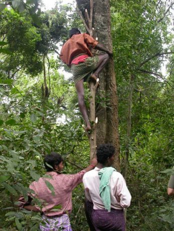 Using a small tree as a stepping ladder up a large tree