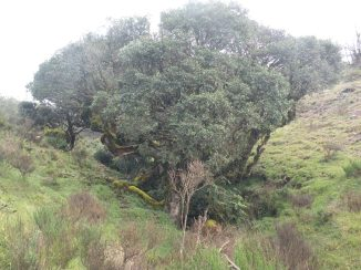 Clump of Shola trees in the grasslands
