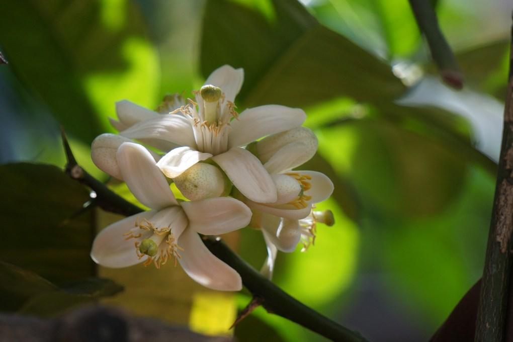Honey the Brave - Pianta e Fiore di Agrumi