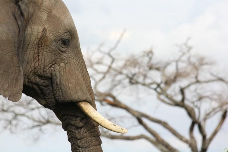 elephant tusk tanzania ivory