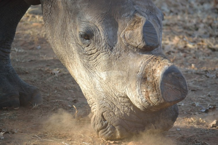 dehorned rhino