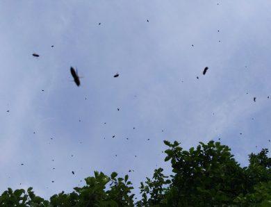 Schwarmzeit in der Imkerei – Schwarmtrieb im Bienenvolk