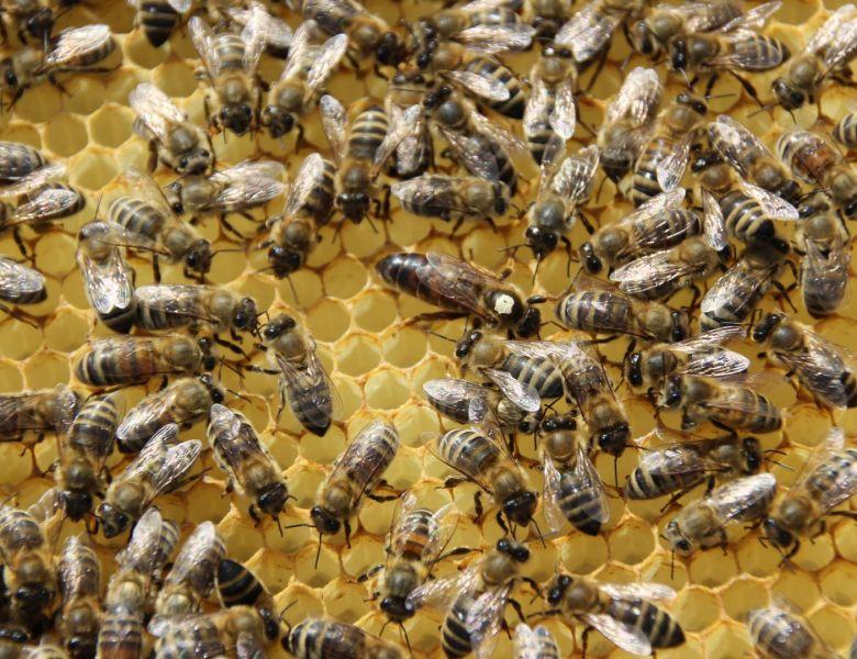 Das Bienenvolk – Ordnung im Chaos