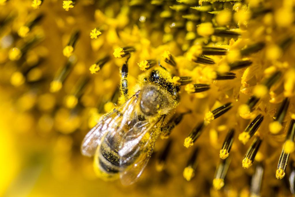 Nahaufnahme eine Biene