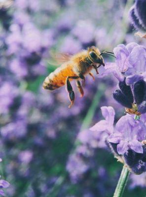 Die Bienen der Aufbau des Tieres