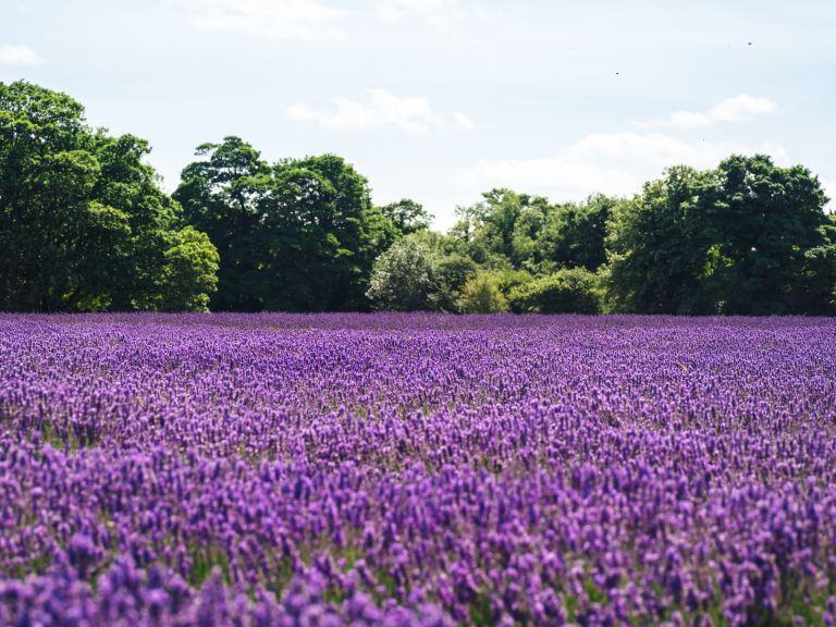 Lavendelhonig vom Lavendelblütenfeld