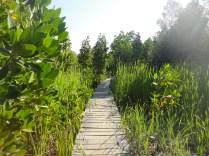 mangrove-pathwalk