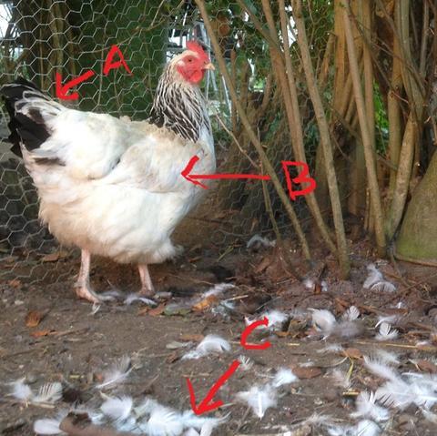 hvad koster en høne