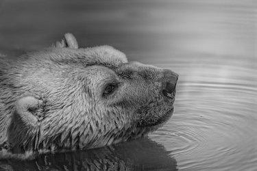 気候危機14‐住み処から700km離れたロシアの町で、衰弱しゴミを漁るホッキョクグマが発見