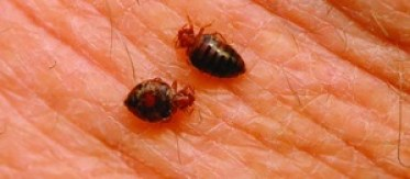 small bed bug in human body