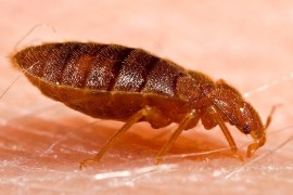 bed-bugs-bite